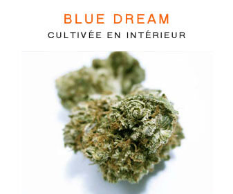 CBD en gros : Bluedream