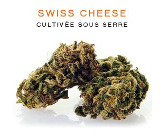 CBD en gros : Swiss Cheese