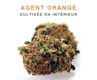 CBD en gros : Agent Orange