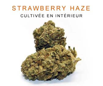 CBD en gros : Strawberry Haze