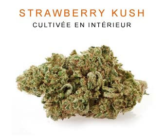 CBD en gros : Strawberry Kush